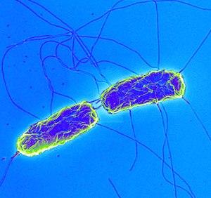 Возбудитель брюшного тифа - Salmonella Typhi